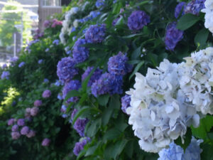 八雲神社の紫陽花