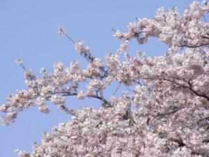 源氏山公園でお花見